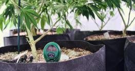 Cannabis Stamm im Topf