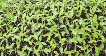 Baby Chilli Pflanzen im Gewächshaus